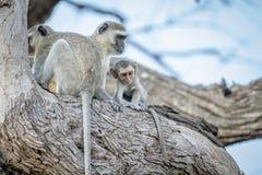 Família dos macacos de Vervet que sentam-se em uma árvore Imagens de Stock Royalty Free