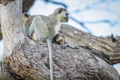 Família dos macacos de Vervet que sentam-se em uma árvore Imagem de Stock