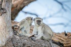 Família dos macacos de Vervet que sentam-se em uma árvore Fotografia de Stock