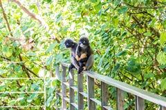 Família dos macacos, langurs com um bebê amarelo sente-se em uma cerca do ferro em um fundo de árvores verdes imagens de stock