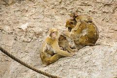 Família dos macaques de Barbary Fotos de Stock Royalty Free