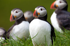 Família dos papagaio-do-mar Imagem de Stock