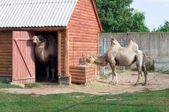 A família dos pares two-humped brancos dos camelos está na jarda do jardim zoológico foto de stock