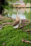 Família dos patos Fotos de Stock Royalty Free