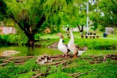 Família dos patos Foto de Stock Royalty Free