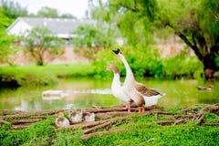 Família dos patos Imagens de Stock Royalty Free