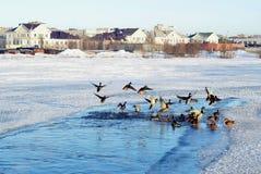 Família dos patos selvagens que permanecem ao inverno na cidade do norte Fotografia de Stock Royalty Free