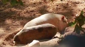 Família dos porcos video estoque