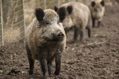Família dos porcos ferozes do varrão na exploração agrícola respeitoso orgânica das trocas de carícias Imagem de Stock