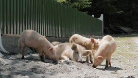 Família dos porcos na estrada, Geórgia filme