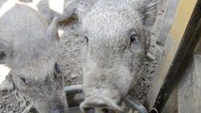 Família dos porcos que olha e que cheira a câmera na jarda de exploração agrícola rural, alimentação leitão vietnamiana nova no p vídeos de arquivo