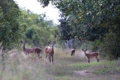 Família dos veados vermelhos na floresta Fotos de Stock Royalty Free