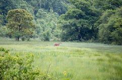 Família dos veados vermelhos que anda no prado Imagem de Stock