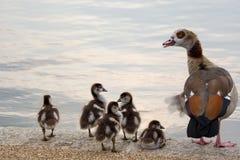 Família egípcia do ganso Fotos de Stock