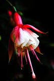 Família fúcsia do Onagraceae Imagem de Stock Royalty Free