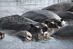 Família feliz do hipopótamo Imagem de Stock Royalty Free