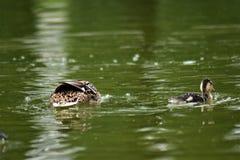 Família feliz dos patos que nadam na lagoa Imagens de Stock Royalty Free