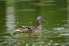 Família feliz dos patos que nadam na lagoa Imagem de Stock Royalty Free