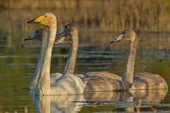 A família grande das cisnes de Whooper Fotografia de Stock