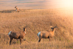 Família, morther e bebê dos carneiros do Big Horn Imagem de Stock Royalty Free