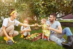 A família nova feliz durante maçãs da colheita em um jardim fora fotografia de stock
