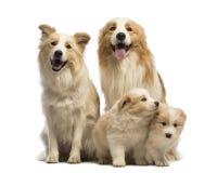 Família, pai, mãe e filhotes de cachorro de border collie, sentando-se Imagem de Stock Royalty Free