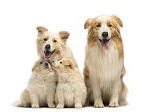 Família, pai, mãe e filhotes de cachorro de border collie, sentando-se Fotos de Stock Royalty Free