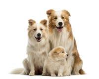 Família, pai, mãe e filhotes de cachorro de border collie, sentando-se fotografia de stock royalty free