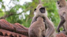 Família pequena bonito do macaco na parte superior do telhado imagens de stock