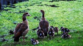 Família pequena de patos selvagens Imagens de Stock Royalty Free