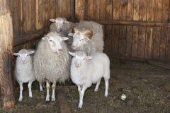 Família pequena do cordeiro Fotografia de Stock Royalty Free
