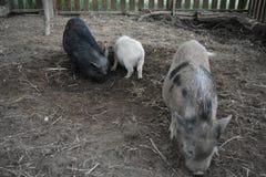 Família pequena impressionante do porco foto de stock royalty free