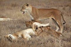 Família preguiçosa do leão, Serengeti, Tanzânia Fotografia de Stock Royalty Free