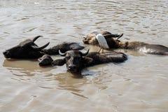 Família selvagem do búfalo Imagem de Stock Royalty Free