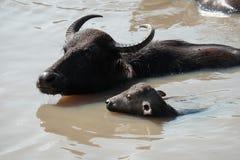 Família selvagem do búfalo Fotos de Stock