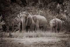 Família selvagem dos elefantes foto de stock