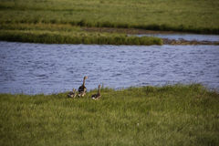 Família selvagem dos gansos no ártico Fotos de Stock Royalty Free