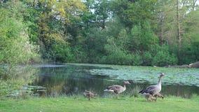 Família selvagem feliz do ganso durante a mola pelo lago filme