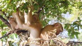 Família selvagem pequena engraçada dos macacos que come as folhas e que senta-se em uma árvore no parque Monte do macaco da cidad vídeos de arquivo