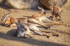Família vermelha do canguru imagens de stock royalty free