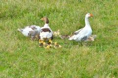 Famílias do ganso foto de stock