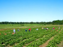 Famílias dos povos que escolhem morangos frescas na exploração agrícola orgânica da baga no verão foto de stock royalty free