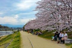 Famílias japonesas e amigos que apreciam piqueniques sob as flores de cerejeira ao longo do rio de Kamo nas KY imagem de stock