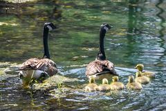 Fam?lia canadense do ganso com seis beb?s fotos de stock