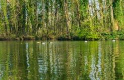 Fam?lia do pato com filhotes em um lago imagens de stock