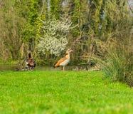 Fam?lia do pato com os animais novos na costa de um lago imagens de stock