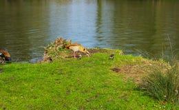 Fam?lia do pato com os animais novos na costa de um lago fotografia de stock royalty free