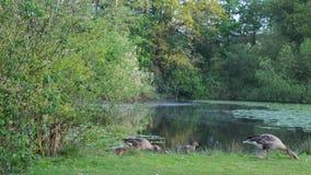 Fam?lia selvagem feliz do ganso durante a mola pelo lago video estoque