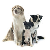 Famaily border collie Royalty Free Stock Photography