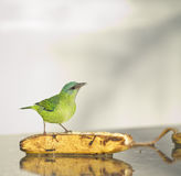 Famale Blue Dacnis Royalty Free Stock Images